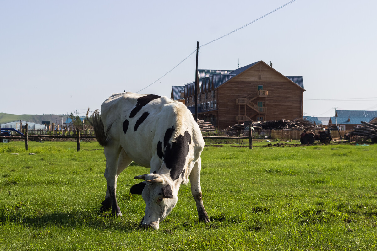 惠缘奶牛厂_奶牛
