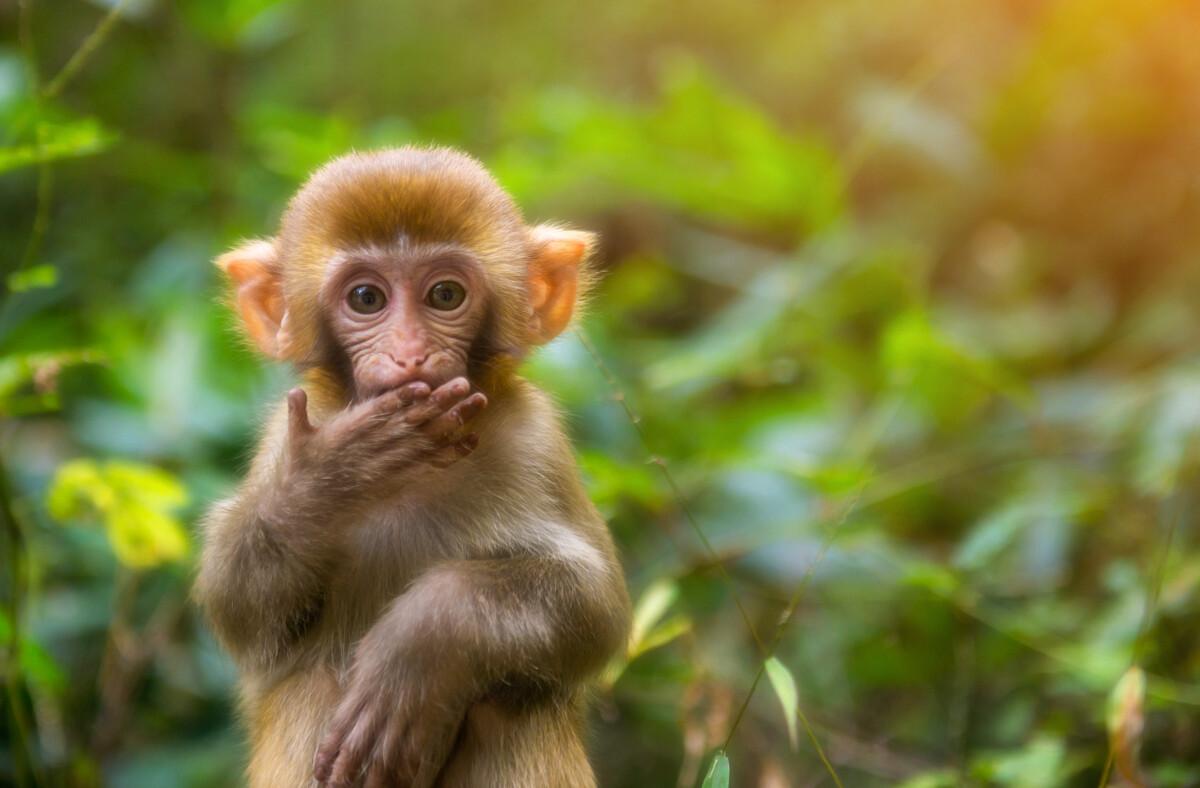 在张家界的金鞭溪,细细的流水优美的景色被一群前来讨吃的猴子打破,有