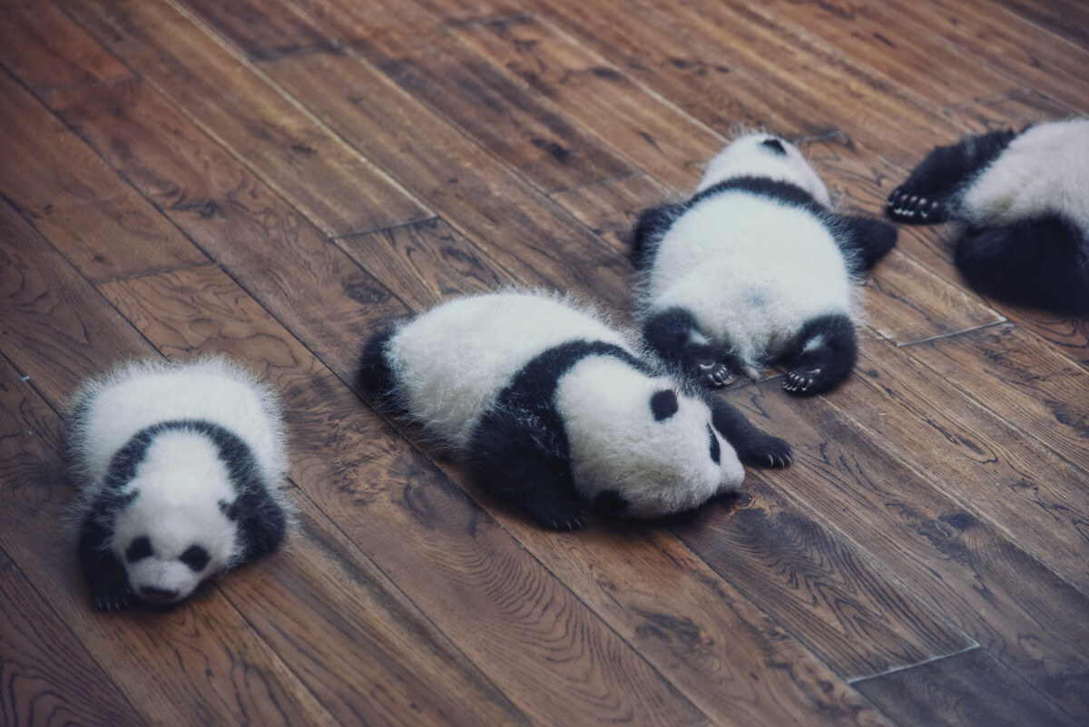 壁纸 大熊猫 动物 狗 狗狗 1200_801
