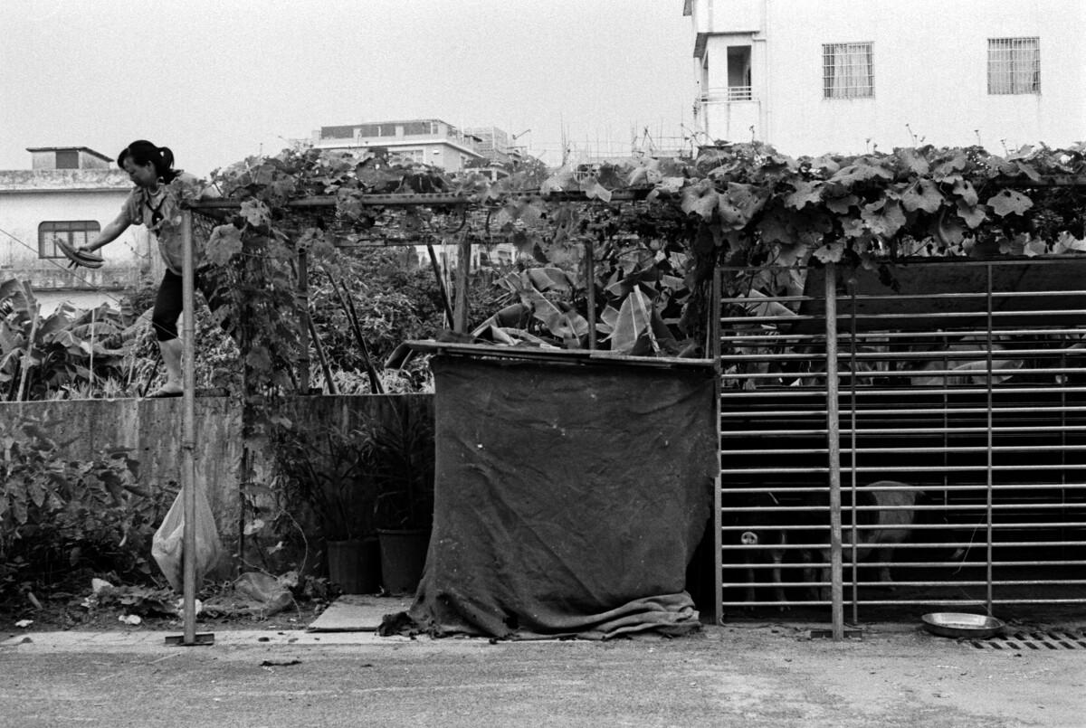 一位女村民排上铁瓜棚上摘了两个水瓜,瓜棚下养了两头猪