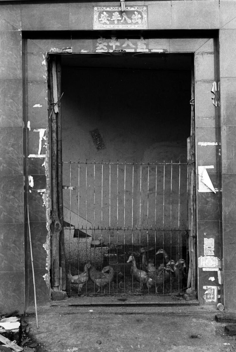 钉子户在遗弃的房子里养起鸭来
