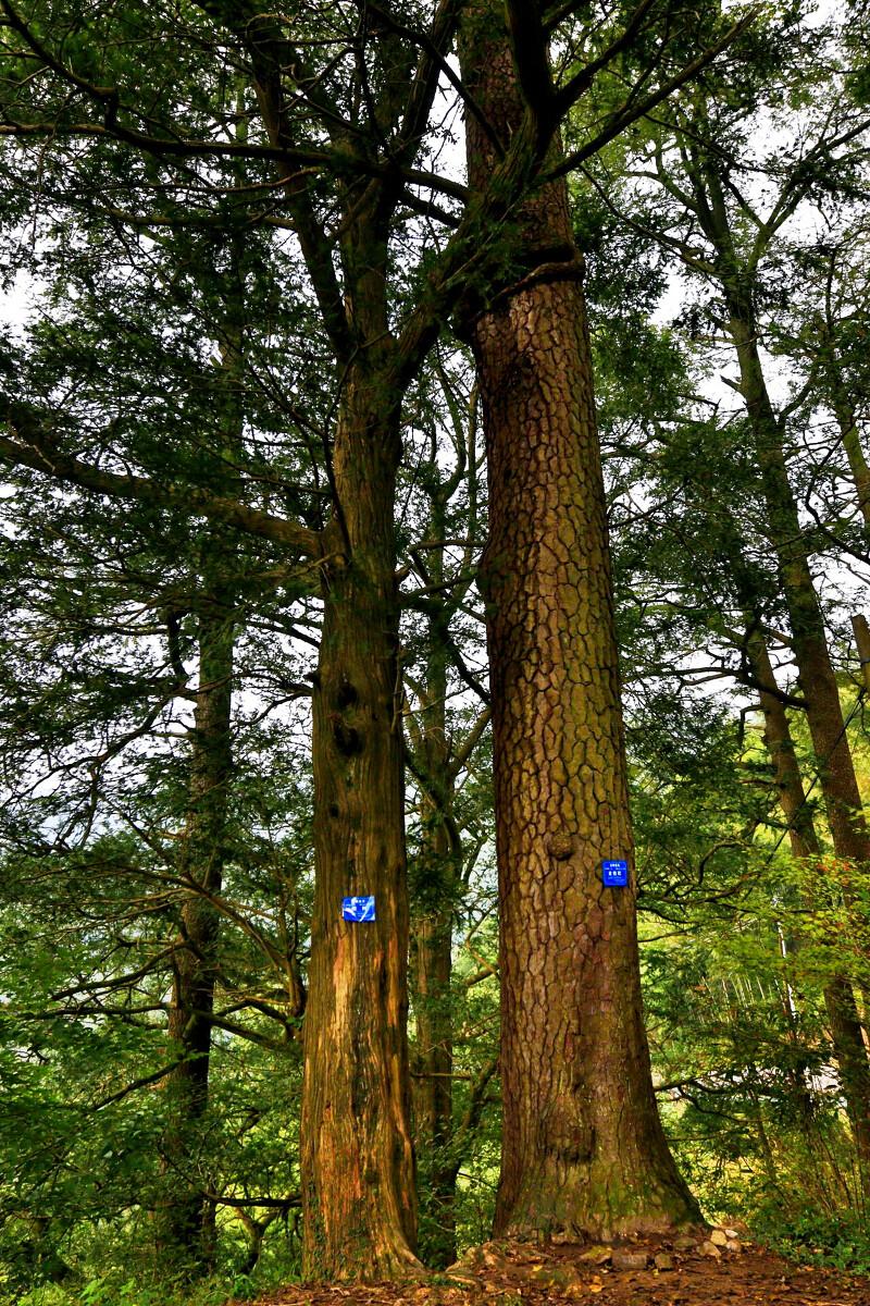 单机流芳茅镬村天龙八部古树攻略视频图片