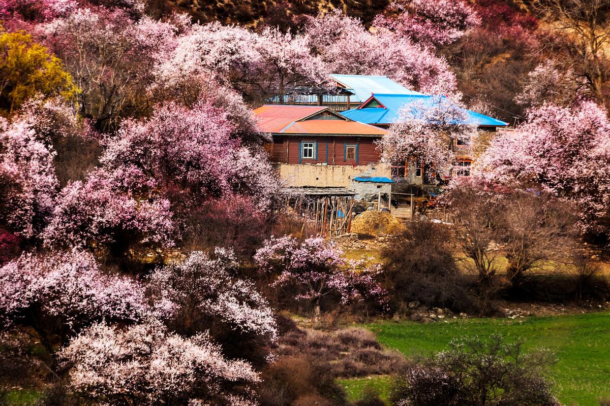 圣地~西藏林芝 - 菩提树下的老叶 - 图虫网 - 优质师图片