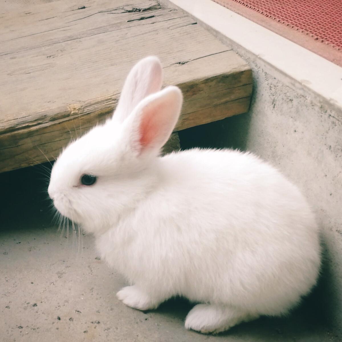 可爱的满月小兔子
