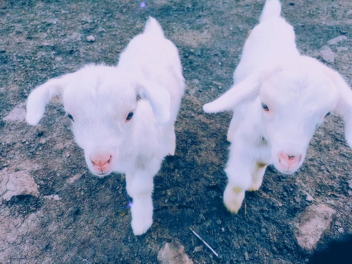 羊活出了我的梦想生活
