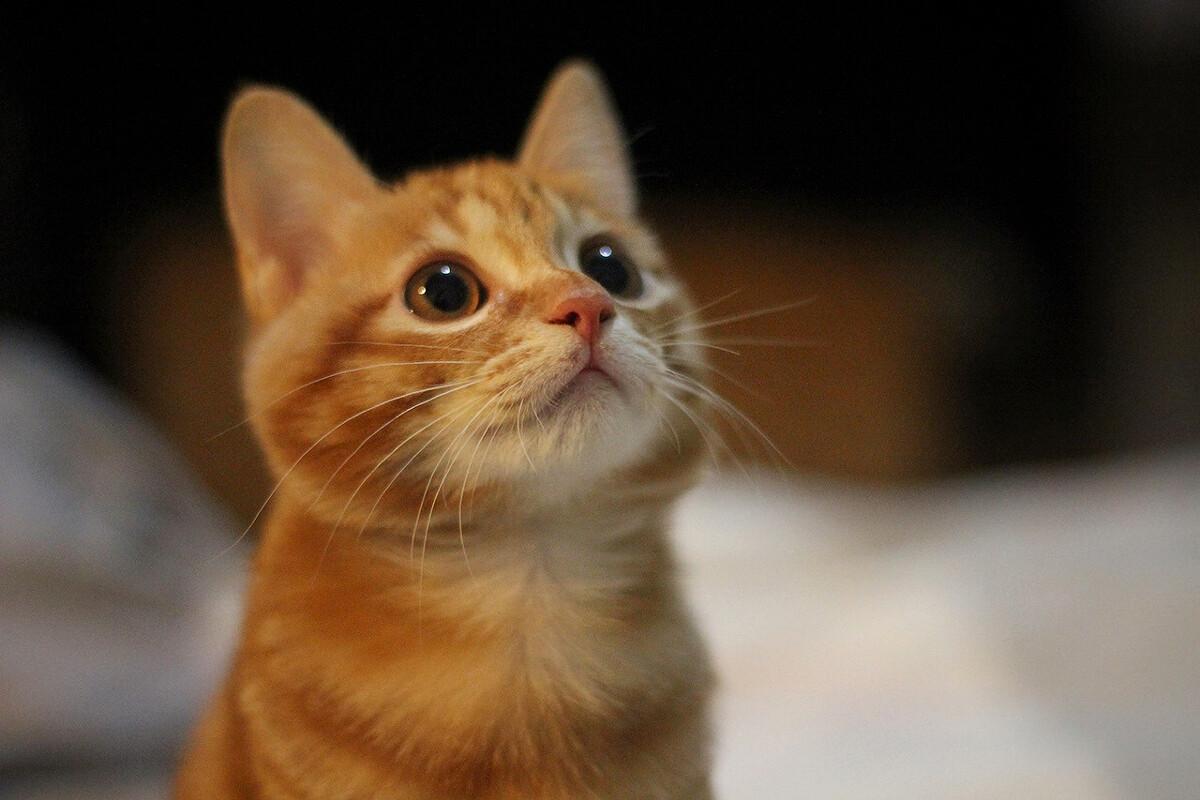当肥橘猫爬上猫爬架