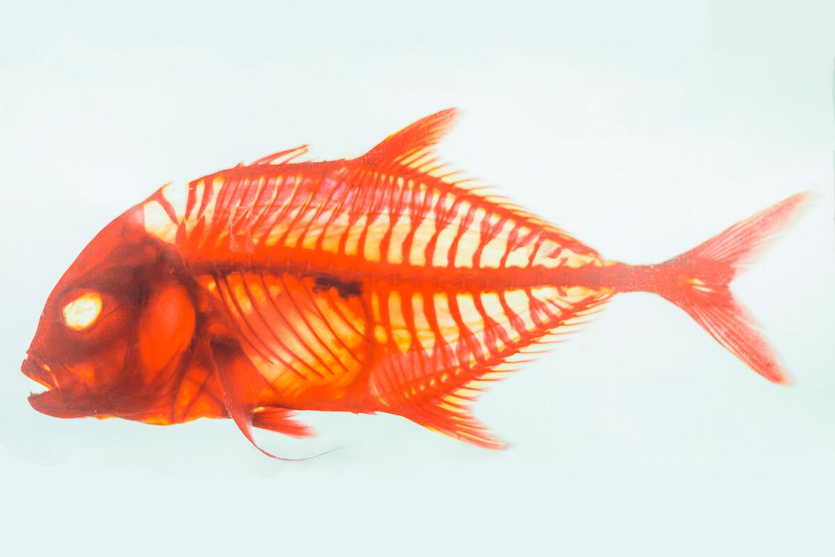 鱼类标本图片