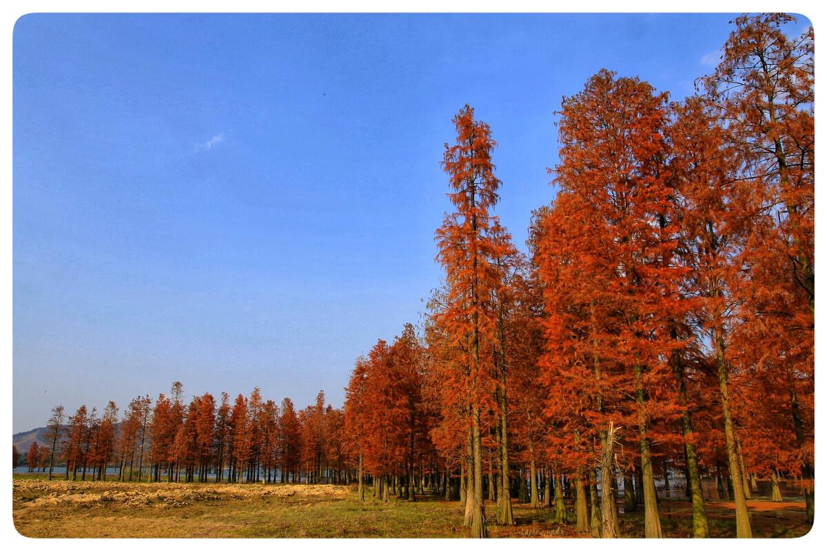 四明湖红杉林图片