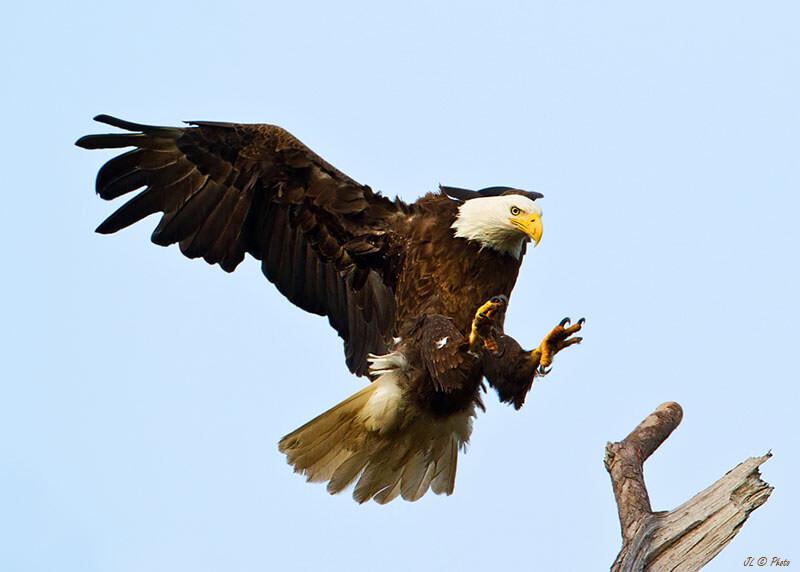 美国男人的鸟_雄鹰降落 br /> 白头鹰,美国的国鸟.