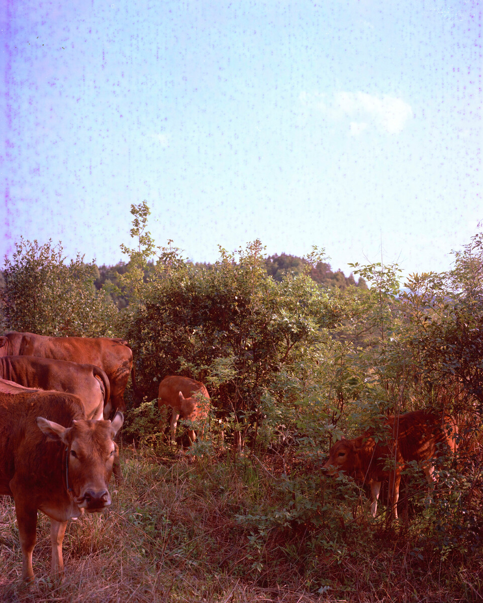 2015年,在山顶尺寸的耕牛。Mamiya 7II + 85/4,过期柯达120负片。