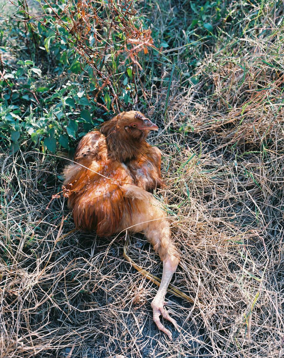 2014年,被汽车压断腿的公鸡。Mamiya 7II + 85/4,柯达120负片。