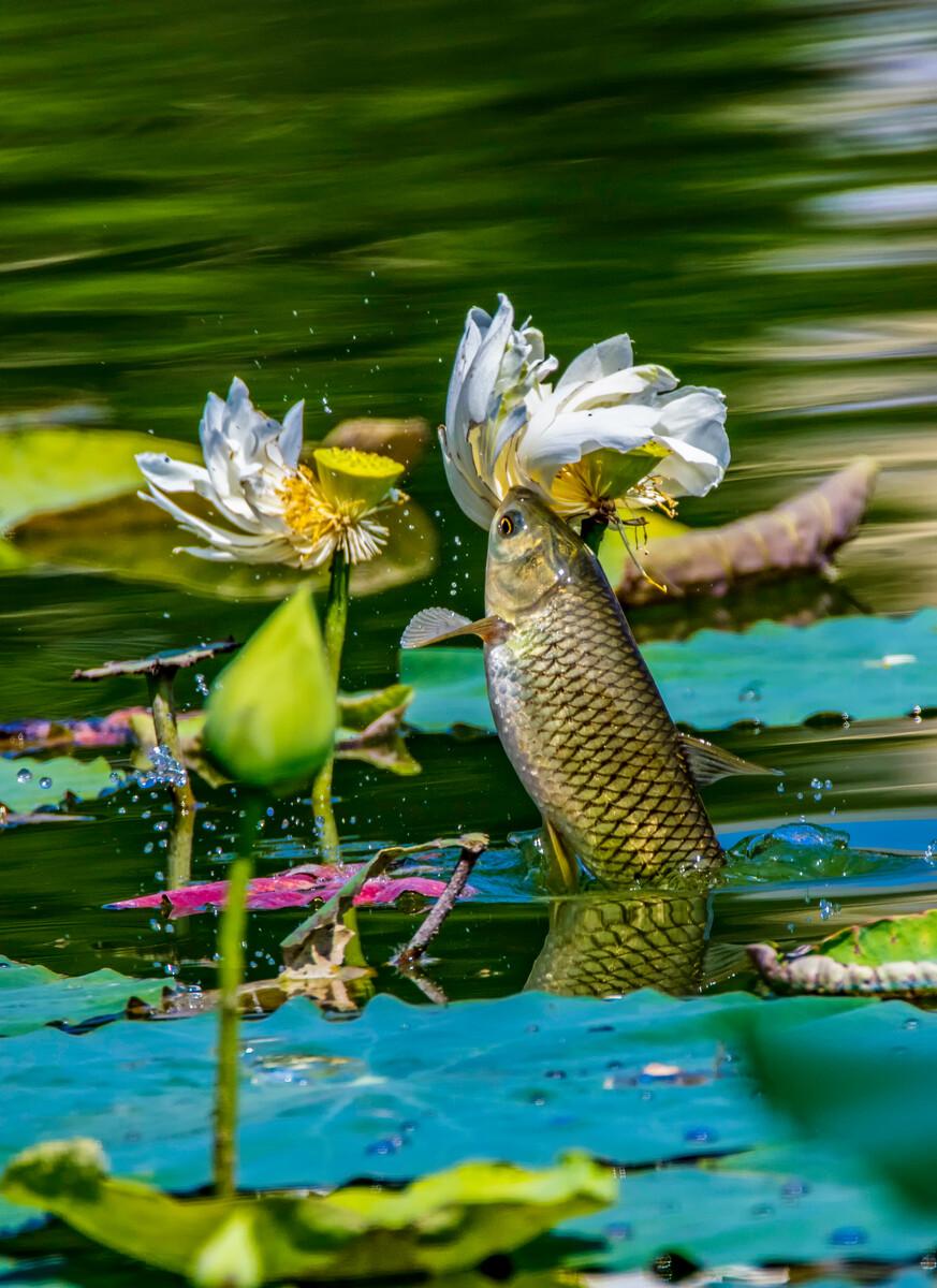 鲤鱼吃荷花