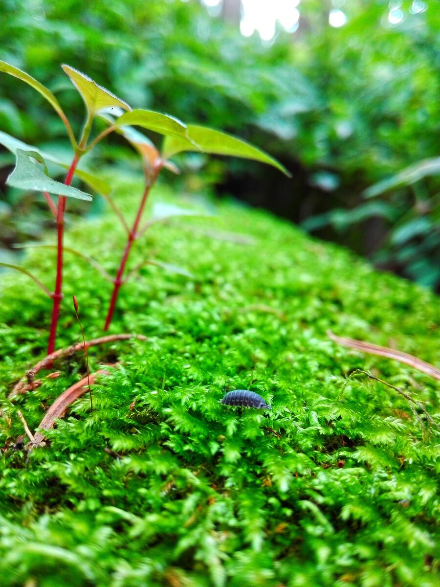 林中青苔上的米汤虫!