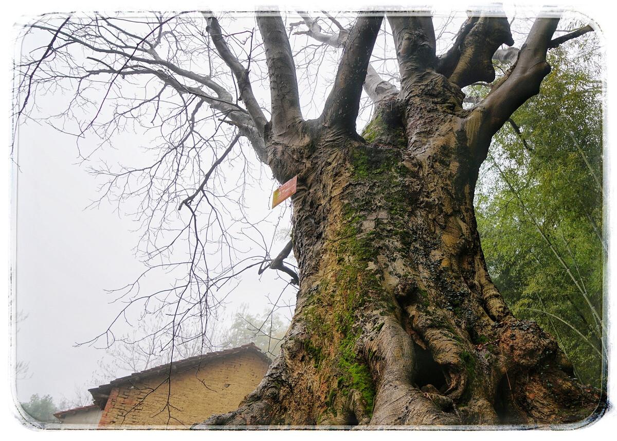 树舒艳照_舒安古树