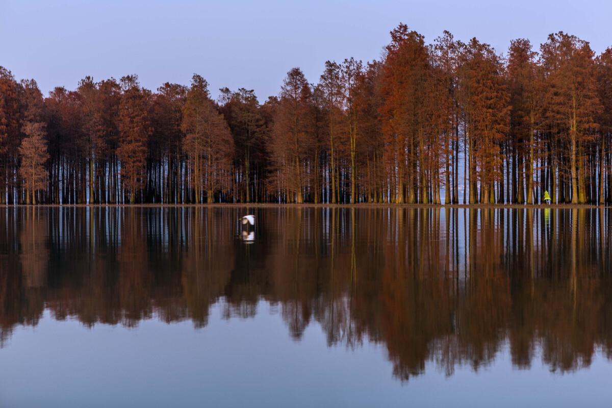 宁波四明湖红杉林,红杉生满丛林的日子.图片
