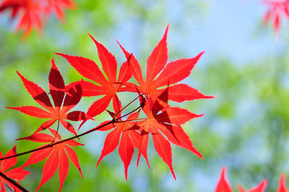 春天的红叶图片