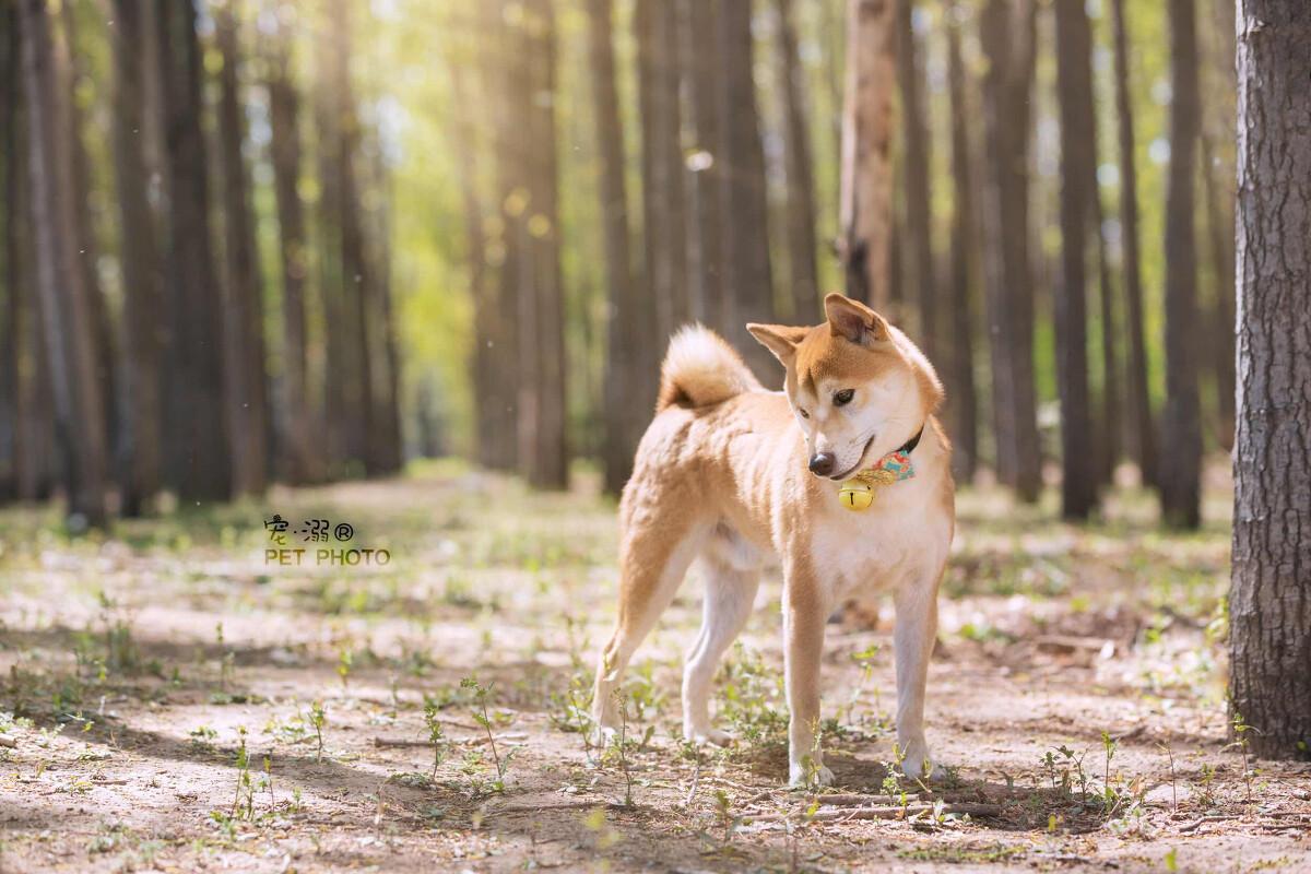 柴犬- 宠物摄影师_喵喵萌 - 图虫网 - 优质摄影师交流
