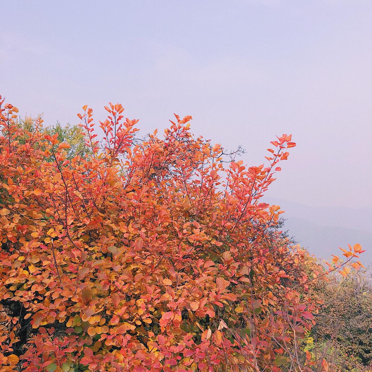 香山红叶?图片