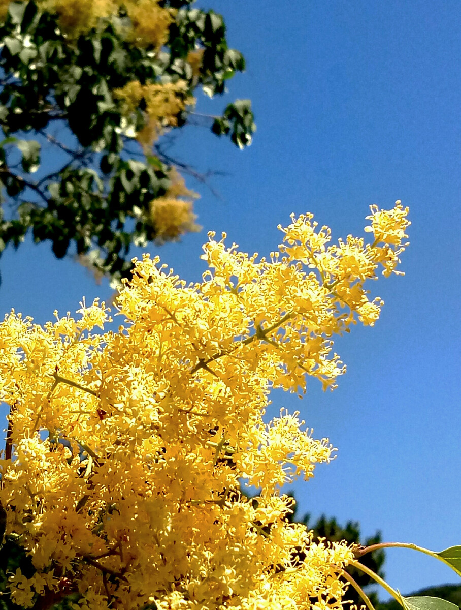 丁香黄色小�_黄色的丁香在蓝天的映衬下格外抢眼