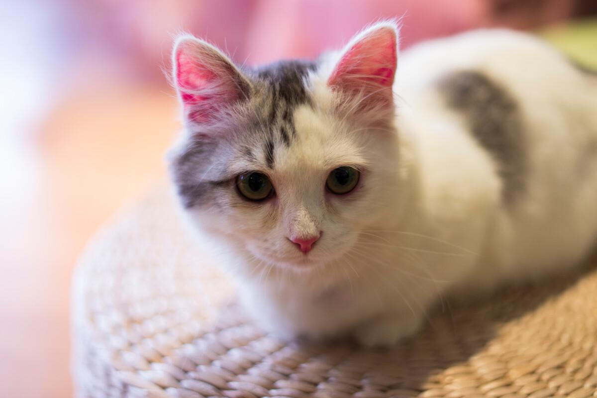 壁纸 动物 猫 猫咪 小猫 桌面 1200_800