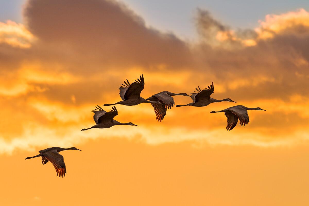 夕阳下,一群沙丘鹤身披晚霞款款归来。摄于美国印第安纳州。