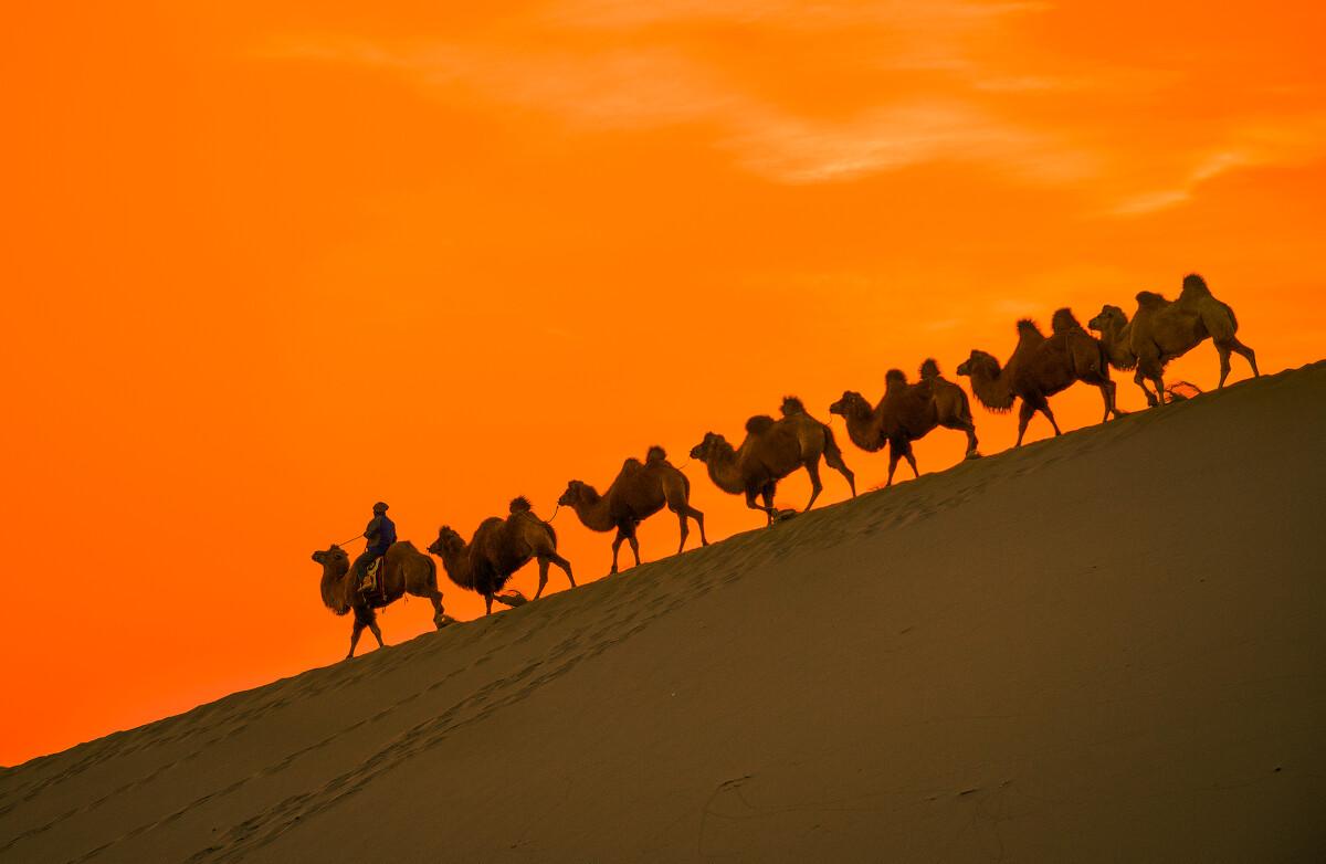 关注          夕阳下的驼队-摄于巴丹吉林沙漠图片