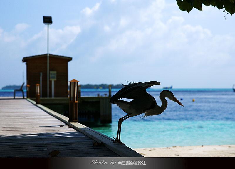 2012年2月9日 马尔代夫 Vilamendhoo<br /> 它有属于自己的沙滩,不容别的同类进犯,人人都有禁区不能触碰