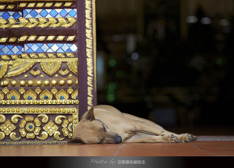 2012年9月30日 清迈 清曼寺<br /> 僧侣在诵经,一只狗靠在描金的门槛上熟睡,安静淡然