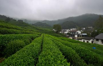 茶乡龙井村(3)