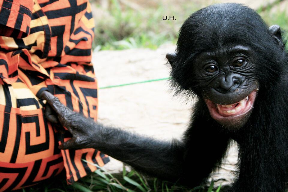 tickling-2 bonobo's favorite game