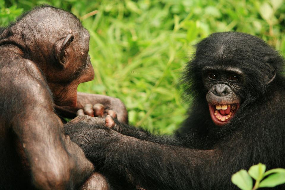 LOL-2<br /> Nioki & Boyoma@Group 3, Lola<br /><br /> Bonobo天生就一副无忧无虑的样子,当了妈的Nioki还会乐呵呵的跟3-4岁的Boyoma追逐打闹,玩得笑抽筋的。<br /><br />