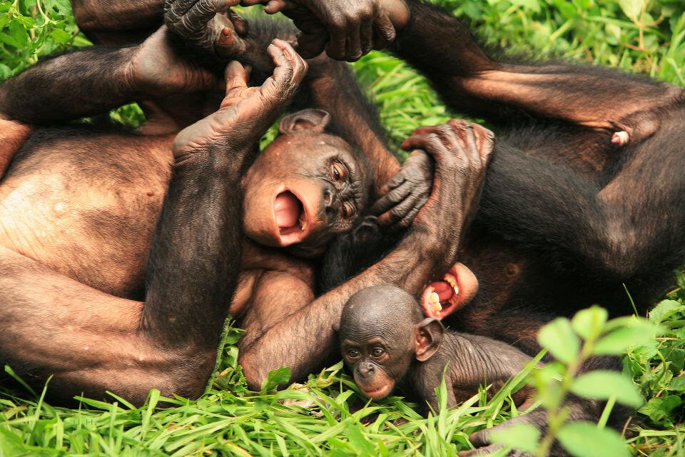 LOL<br /> Nioki & Boyoma@Group 3, Lola<br /><br /> Bonobo天生就一副无忧无虑的样子,当了妈的Nioki还会乐呵呵的跟3-4岁的Boyoma追逐打闹,玩得笑抽筋的。