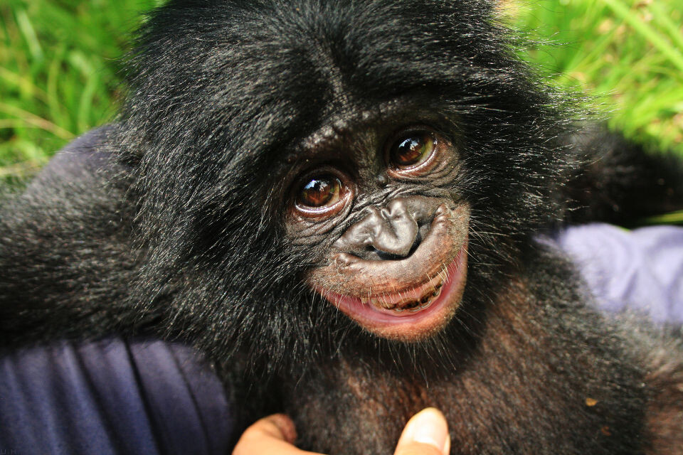 Tickling-4<br /> Lomako@Nursery, Lola<br /><br /> 他的牙齿上还残留着野外植物染上的色素。