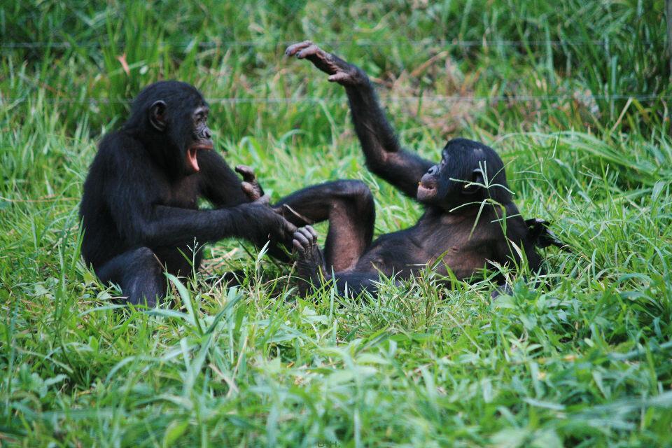 LOL-17-Bonobo风格笑话一则 Eleke & Yolo@Group 2, Lola, Kinshasa<br /> Yolo: 哈哈哈,那也太短了吧<br /> Eleke:走着瞧,以后会长这么长