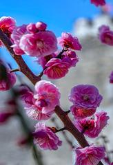 北京明城墙遗址公园花卉(2)2019-3-12 a
