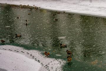北海公园风雪中的野鸭 2019-2-14 d
