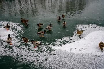 北海公园风雪中的野鸭 2019-2-14 c
