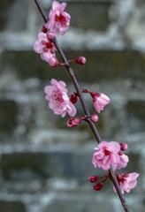 北京明城墙遗址公园花卉(3)2019-3-12 f
