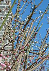 北京明城墙遗址公园花卉(3)2019-3-12 a