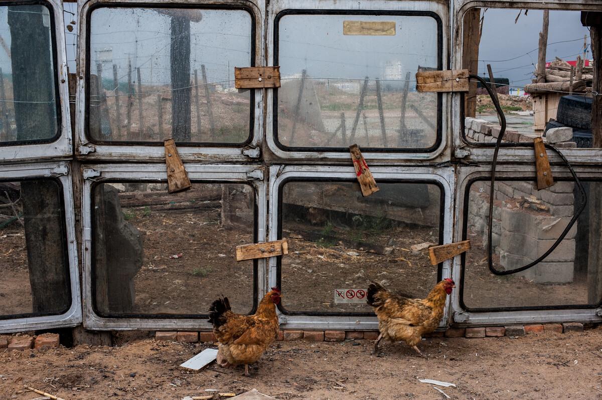 2015年8月8日宁夏中卫市干塘镇,干塘火车站附近用废弃的火车车窗围住养鸡。