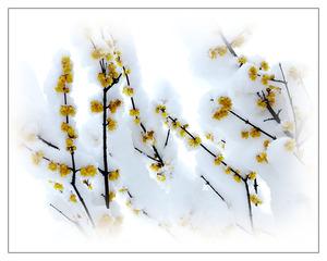 《梅花喜欢漫天雪》