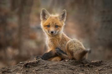 Red Fox Puppy