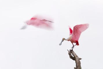 粉红琵鹭 2