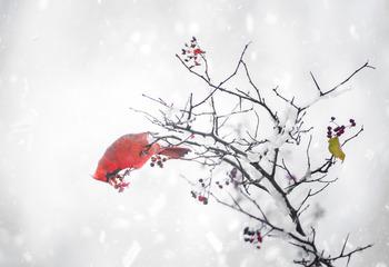 雪中的红衣主教
