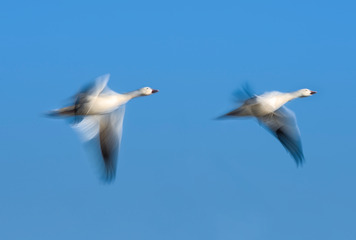 Snow Geese In Slow Motion