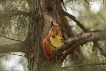 Red Squirrel and apple