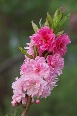 春至桃花始盛开