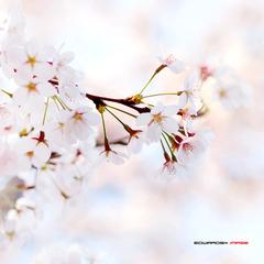 四月樱花7