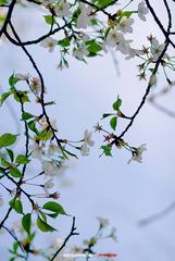 四月樱花6