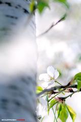 四月樱花4